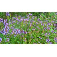 Buy cheap Prunella vulgaris L product