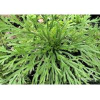 Buy cheap Selaginella lamariscina Spring .dried whole parts product