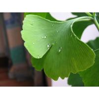 Ginkgo biloba P.E. Basic Parameters