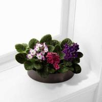 China View our full inventory The FTD African Violets on sale