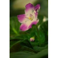 China African Violets on sale