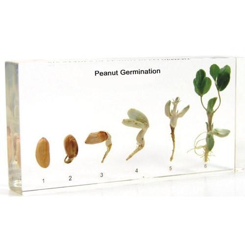 Plant Germination 2605 Peanut Germination